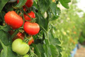 Nguồn thực phẩm có tác dụng lợi tiểu cho người bệnh tăng huyết áp